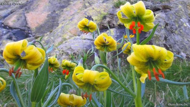 Fleurs Des Pyrenees Les Topos Pyrenees Par Mariano
