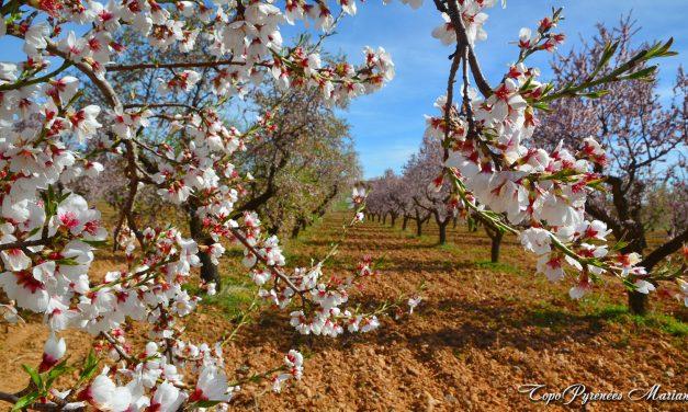 Les Amandiers en Fleurs (Ayerbe-Loarre-Riglos)